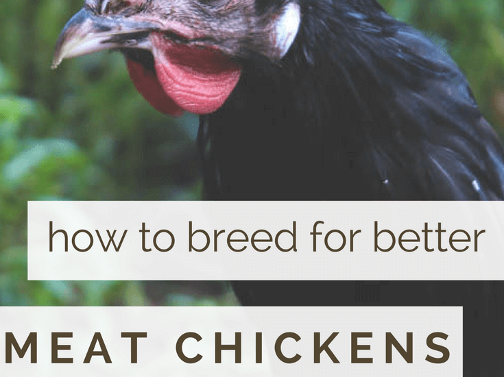 breeding chickens for meat production