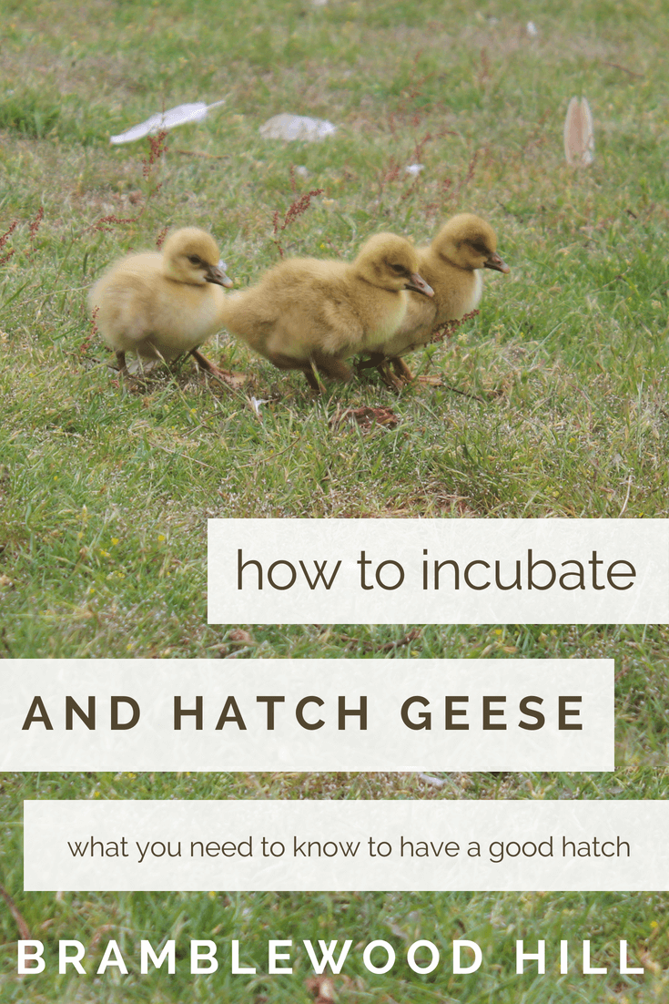 incubating and hatching goose eggs