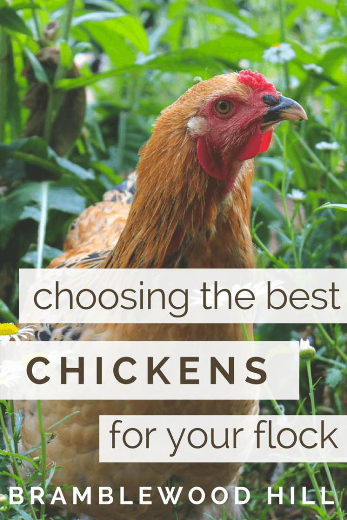 My tips and things to consider when choosing the best chicken breed for your flock.