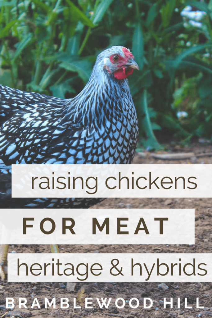 Learn about raising chickens for meat, including tips on heritage versus hybrids.
