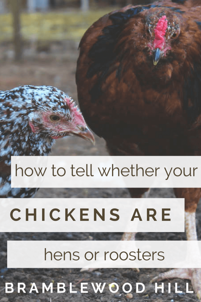 Learn how to tell if your chickens are hens or roosters.
