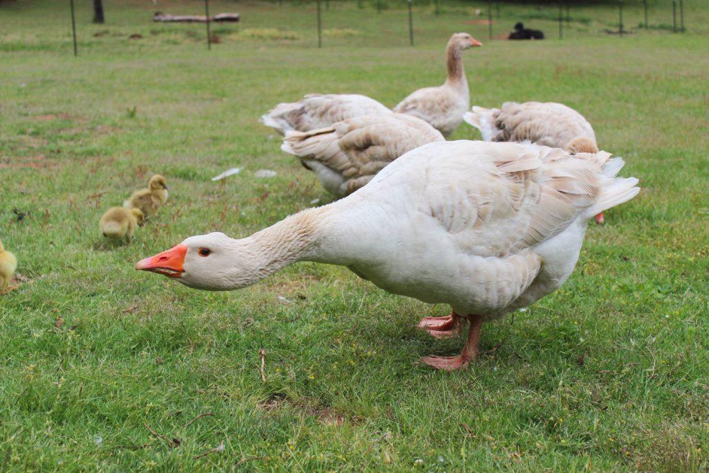Gander protecting geese and goslings.