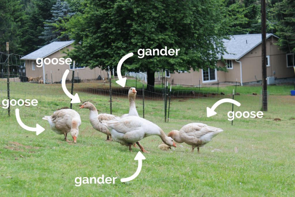 Goose versus gander
