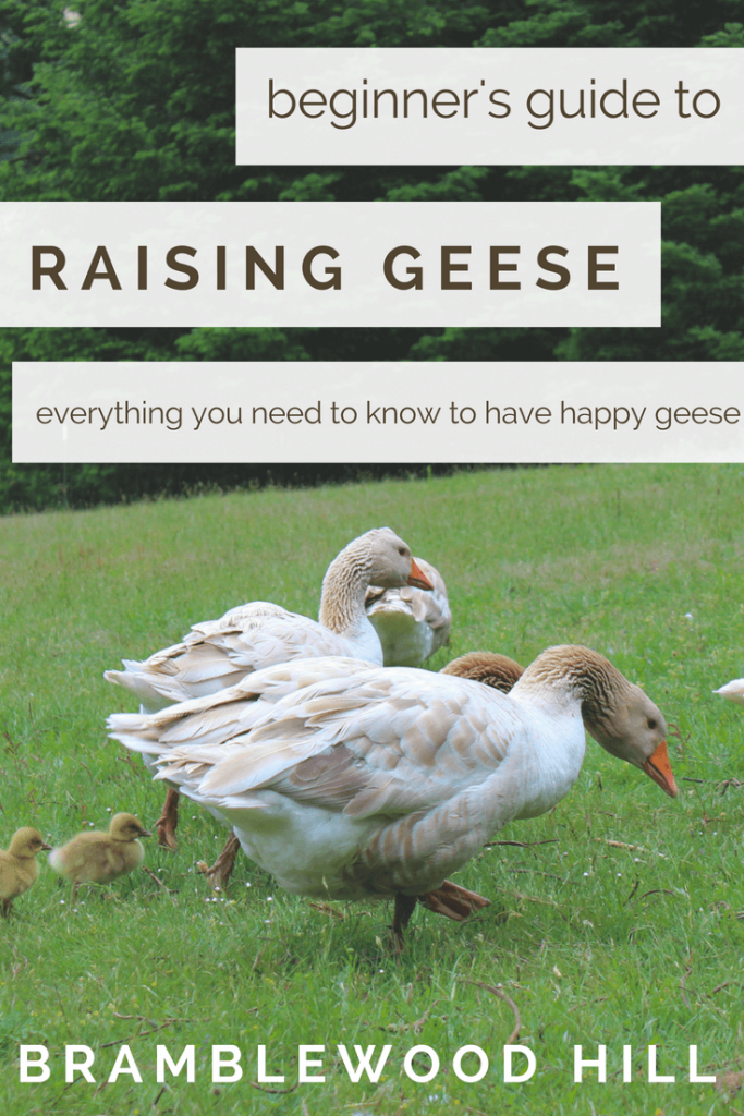 Learn how to raise geese for your homestead.