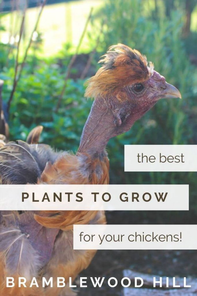 Many chicken owners are curious about the best plants to grow around chickens. Learn some of the best plants you can grow and wild harvest.