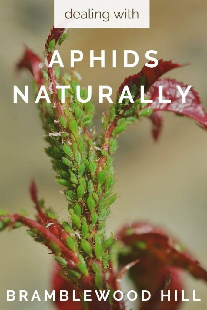 Are your plants covered in aphids? Learn how I deal with aphids naturally in my organic vegetable garden and on my flowers.