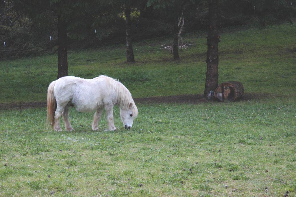 Taz, our grey Welsh pony, grazing.